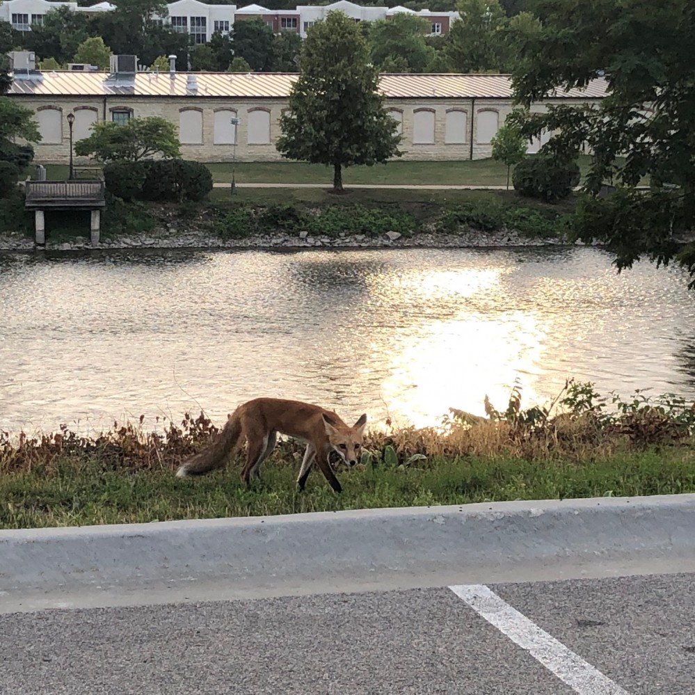 Foxes on the Fox River 2019 - 2