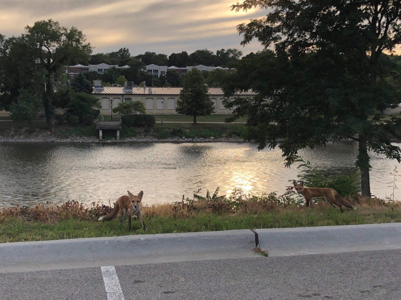 Foxes on the Fox River 2019 - 3
