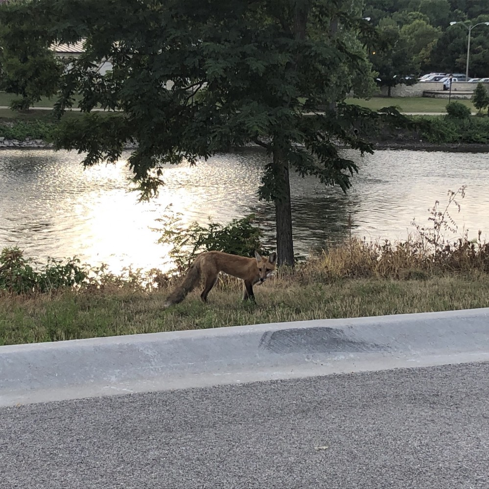 Foxes on the Fox River 2019 - 4
