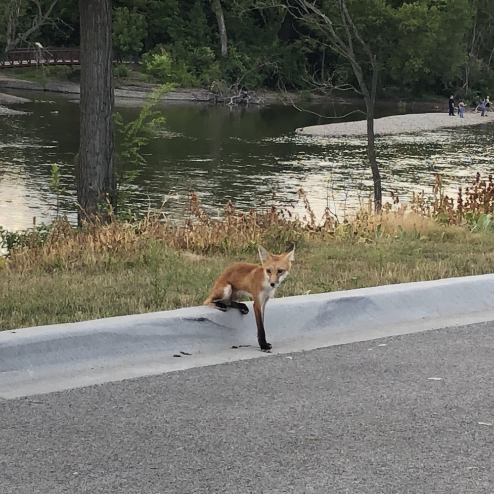 Foxes on the Fox River 2019 - 5