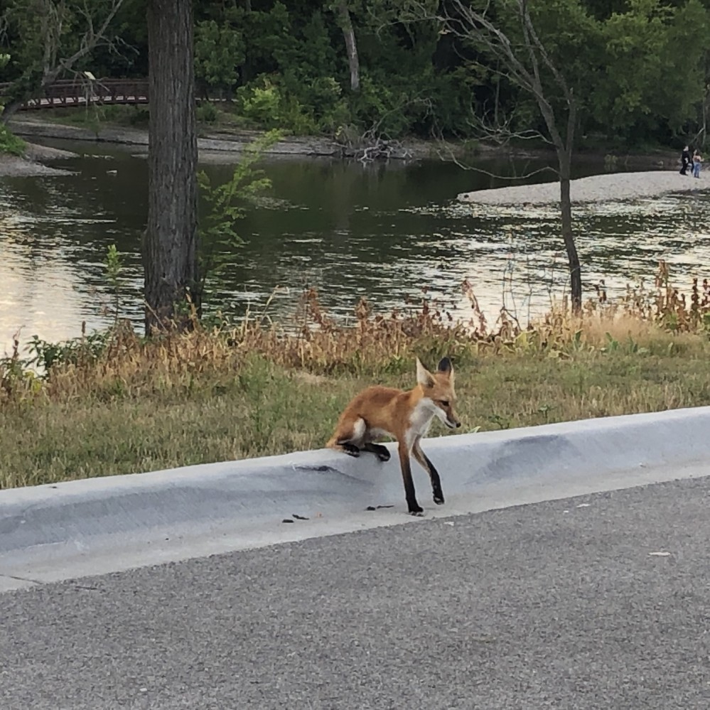 Foxes on the Fox River 2019 - 6