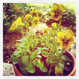 Potted yellow pansies - photo print