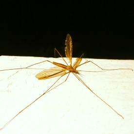 Stretched out adult crane fly - photo print