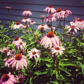 Purple Coneflower crop - photo print