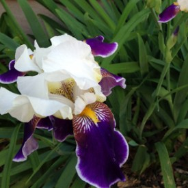 Purple and white Iris - photo print