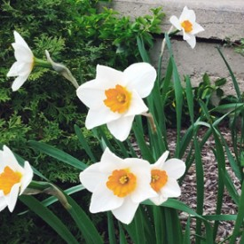 Six daffodils - photo print