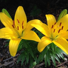 Yellow Lily Duo - photo print