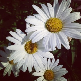 A handful of daisies - photo print