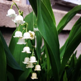 Adorable Lily of the Valley - photo print