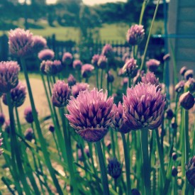 Good evening from the chives, peeps - photo print