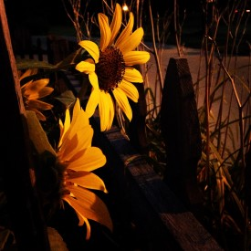 Sunflowers after sunset - photo print