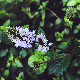 Blooming mint for your Monday - photo print