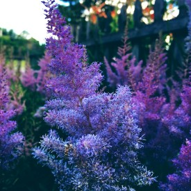 Purplish flower bush in the evening - photo print