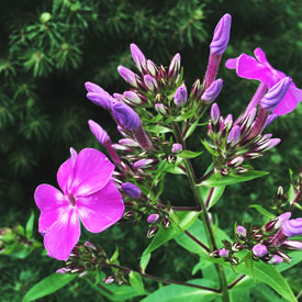 Tuesday afternoon phlox flowers - photo print