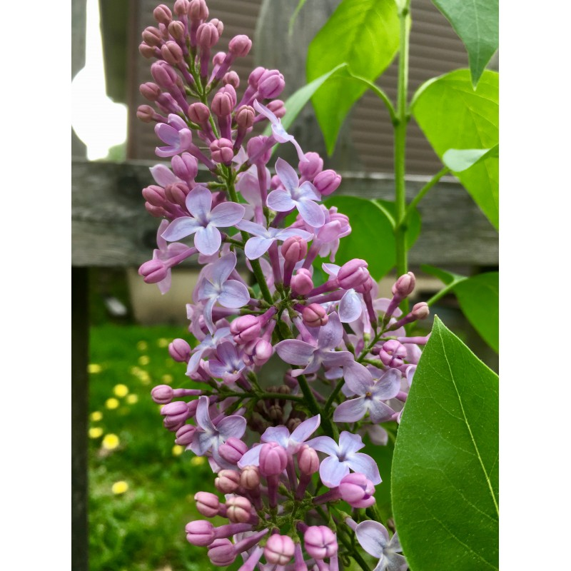 Budding, blooming lilacs - photo print - Primary Image