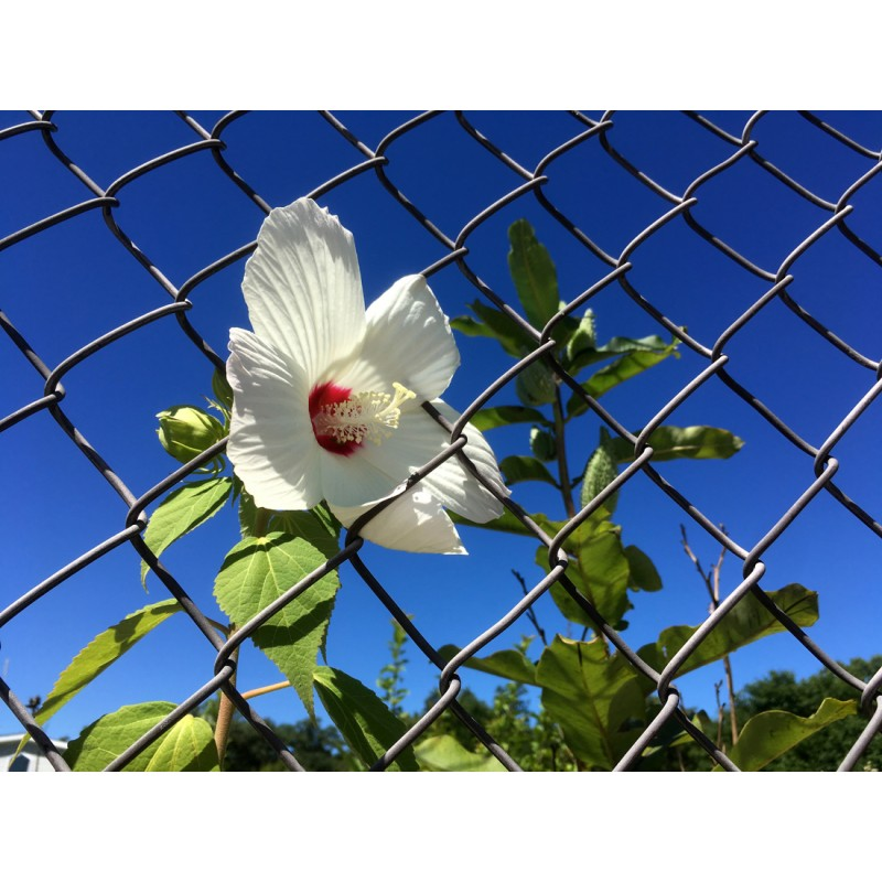 Hibiscus in the chain link - photo print - Primary Image