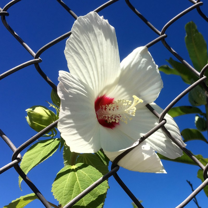 Hibiscus in the chain link - photo print - Additional Image 1