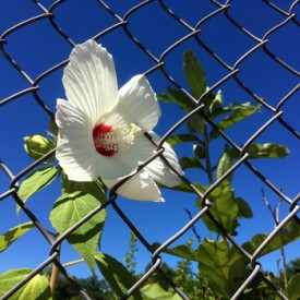Hibiscus in the chain link - photo print