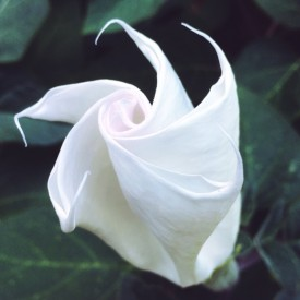 Moonflower just before blooming - photo print