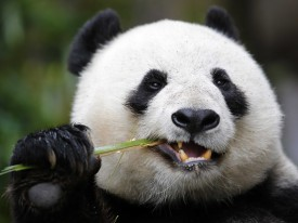 chinas panda diplomacy has entered a lucrative new phase