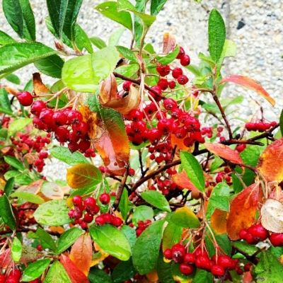 Delicious and Poisonous Berries