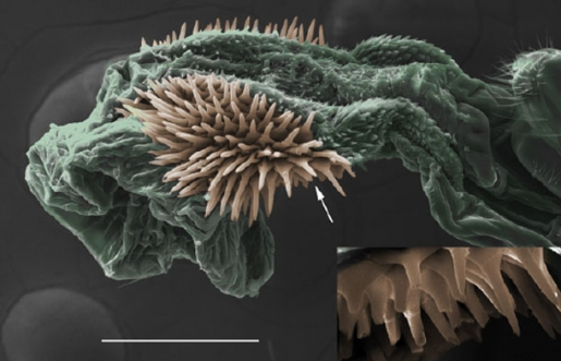 To find out why this beetle has a spiky penis, scientists shaved it with lasers