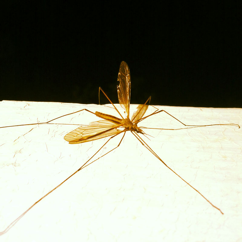 Stretched out adult crane fly