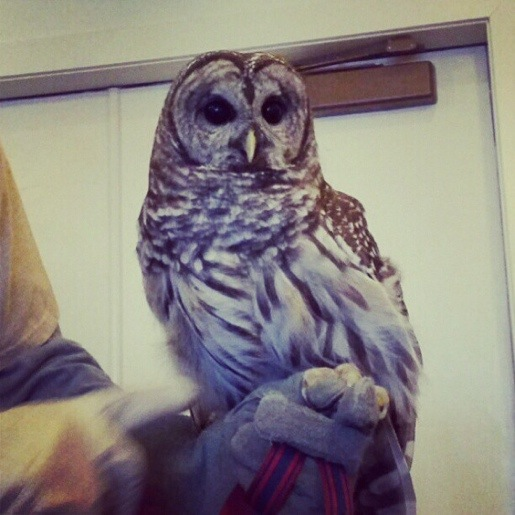 Barred Owl at Peck Farm