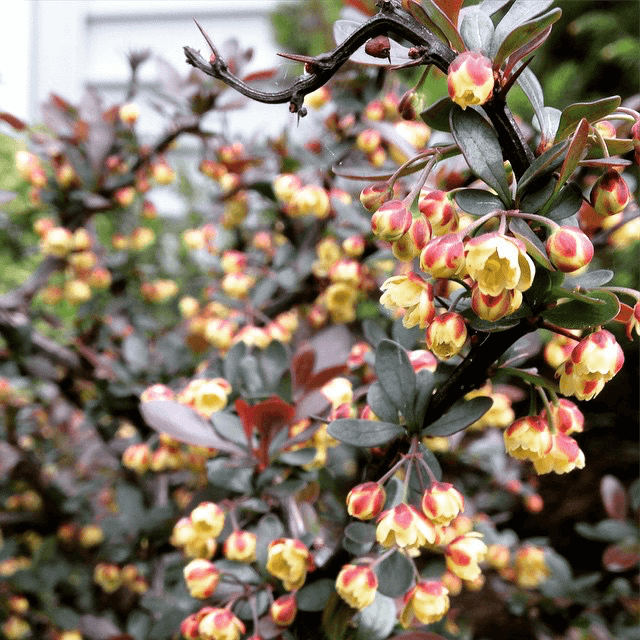 Wine colored bush with teeny yellow flowers
