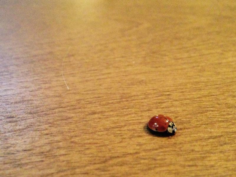 Ladybug on the dining room table