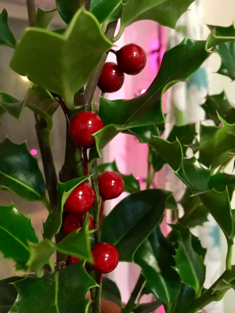 New Holly plant