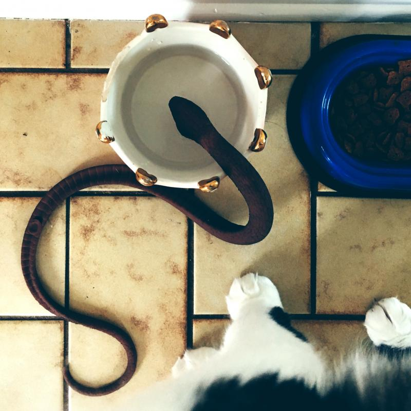 Cat putting her snake in her water bowl again