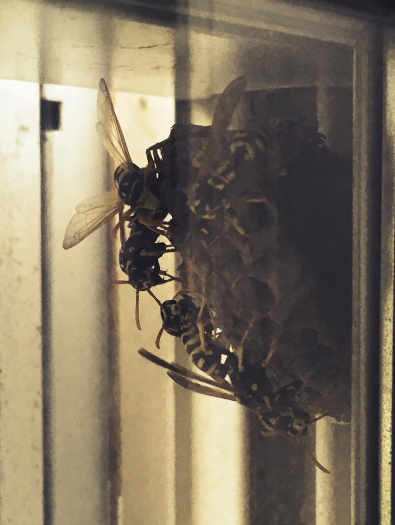 Idiot wasps building a nest in between the screen and the glass