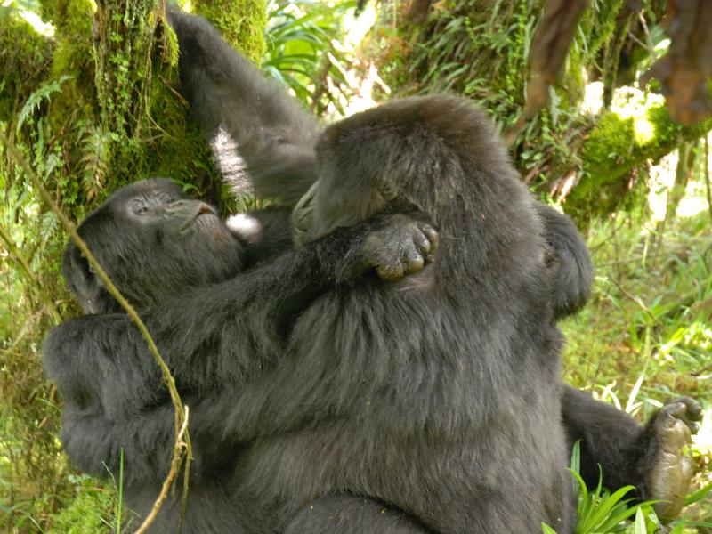 Gorillas discovered having lesbian sex for the very first time