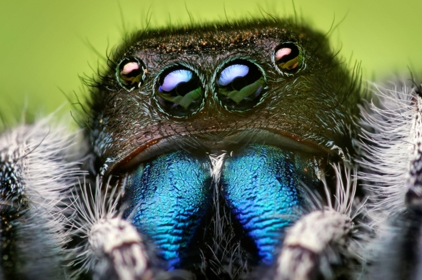 jumping spiders hear long range audio with their hairy legs