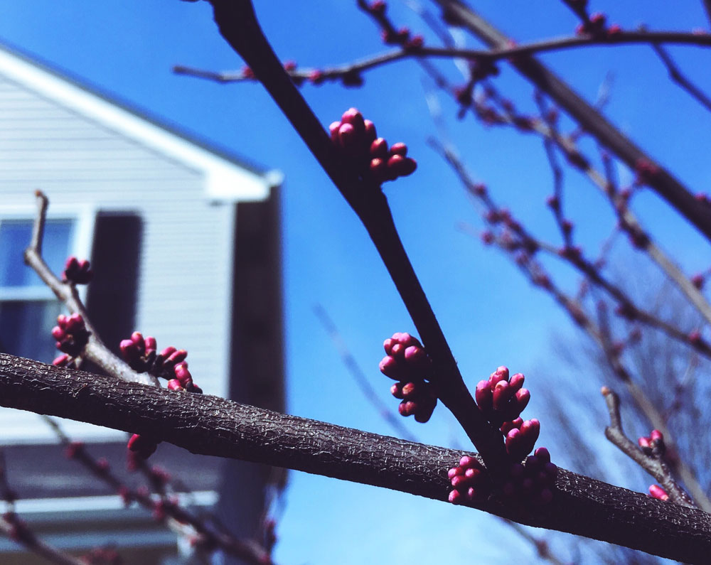 Eastern Redbud with buds!