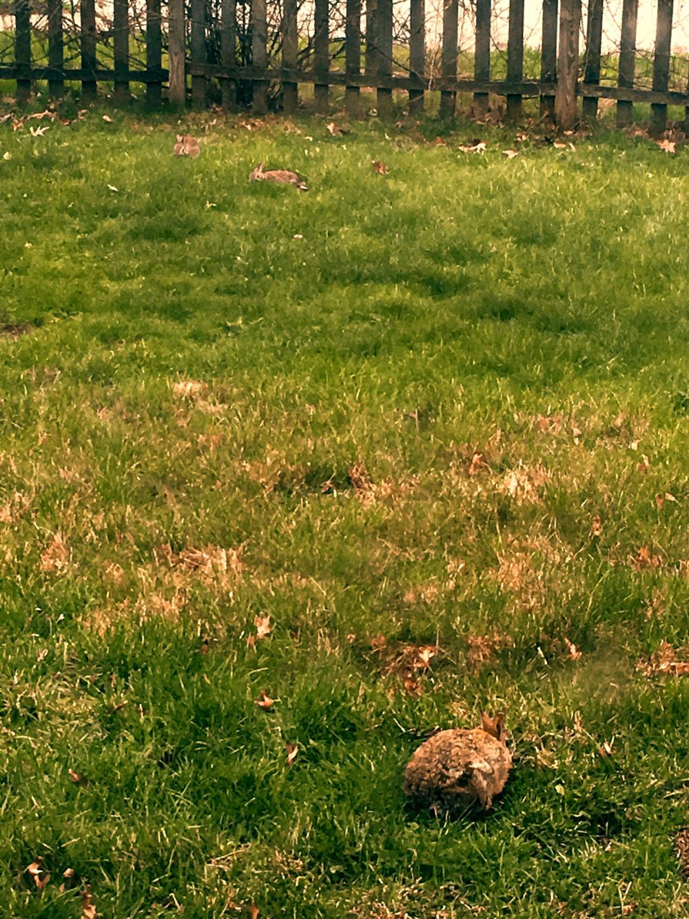 Three bunnies in the yard