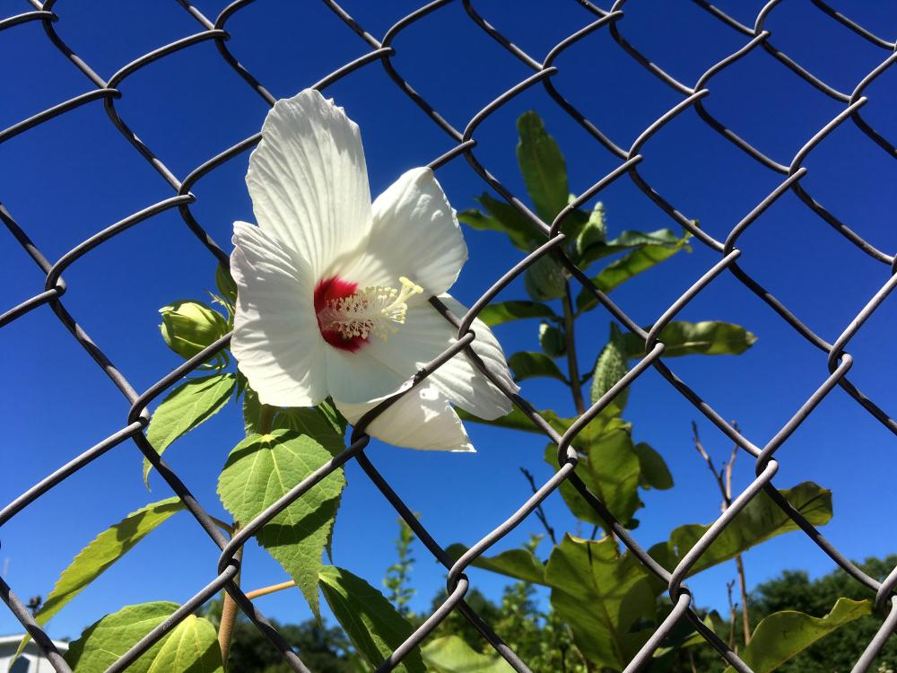 Hibiscus in the chain link