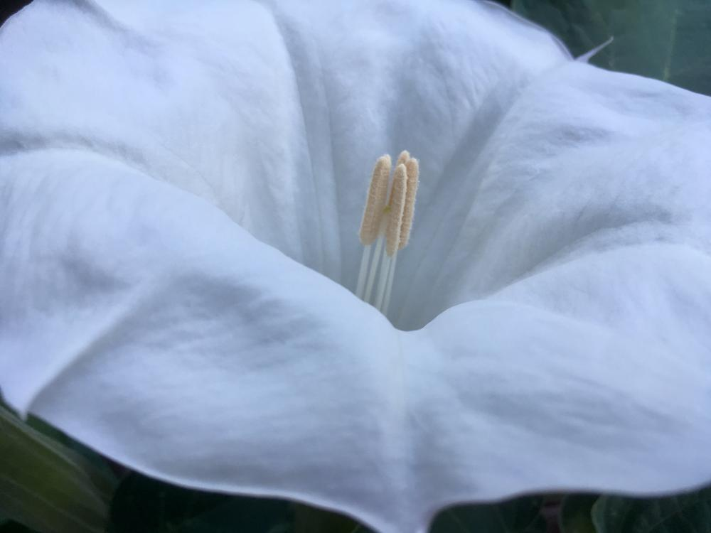 Moonflower opened