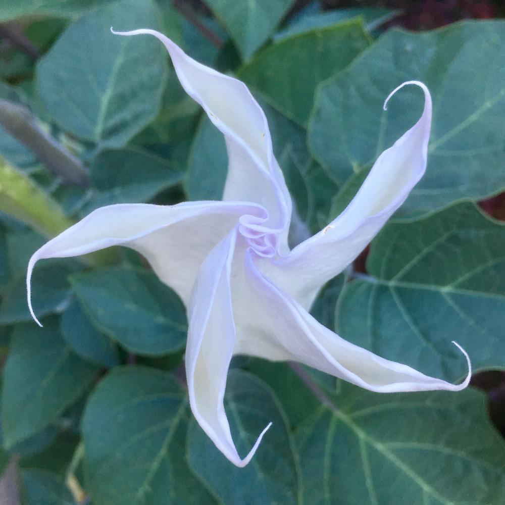 Moonflower spiral