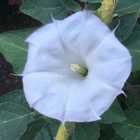 Moonflower wide open