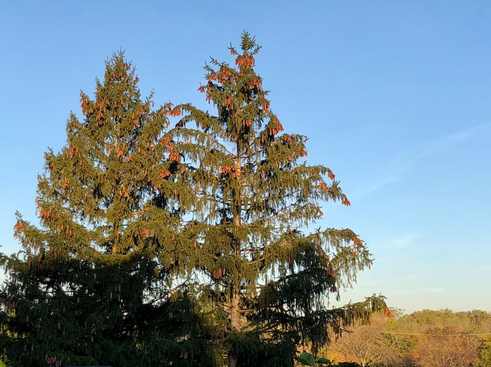 Pine tree in the sunshine