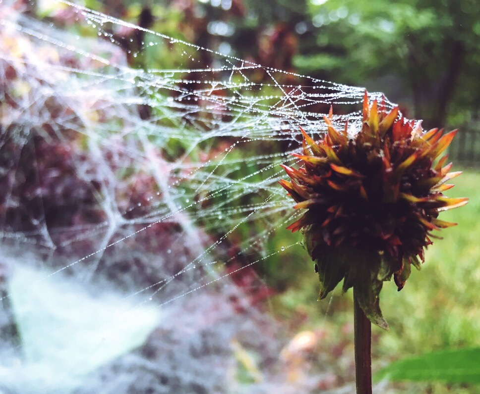 Dead coneflower with spider web