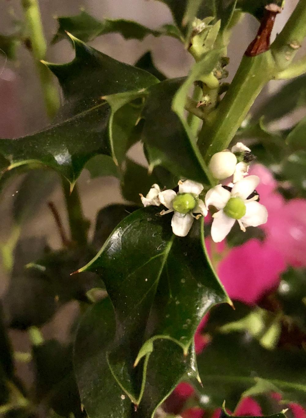 Holly plant bloomed this weekend