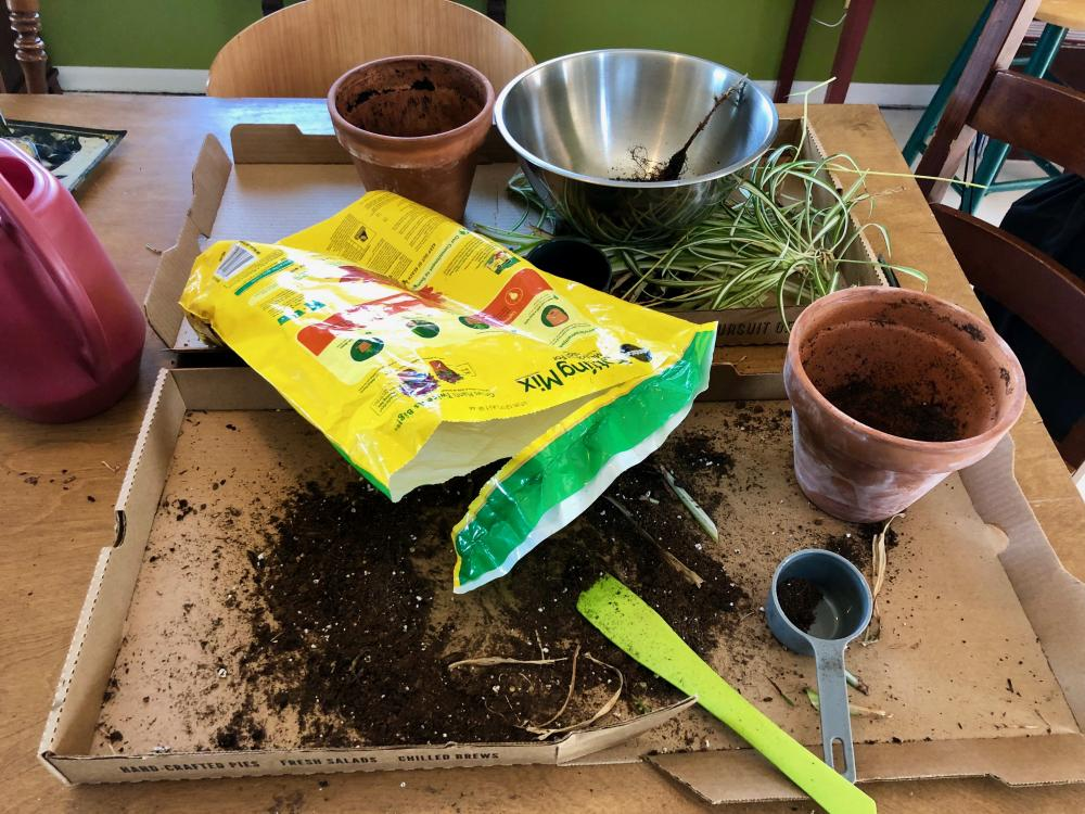 Repotting the spiderplants