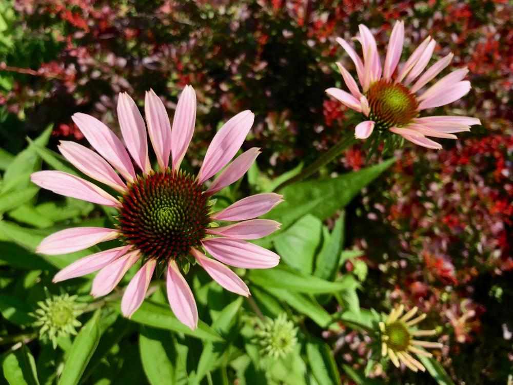 Saturday morning cone flowers
