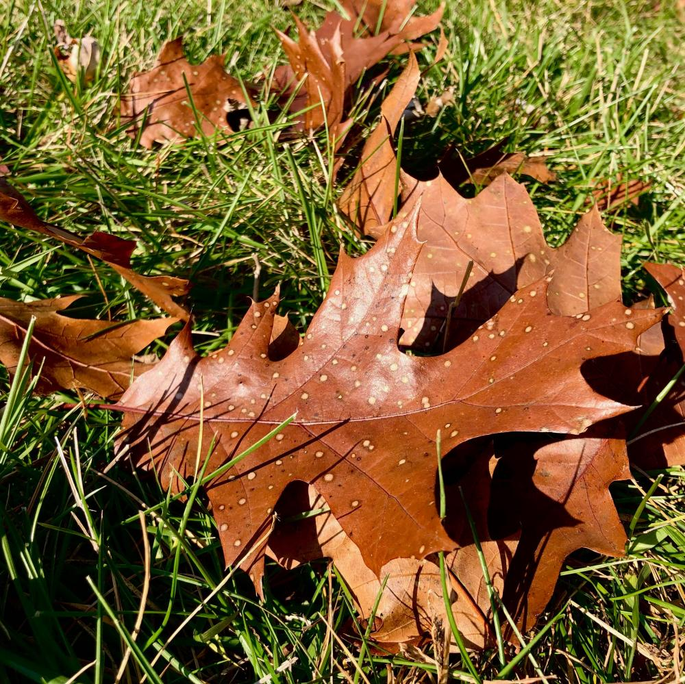 Spotted oak leaves