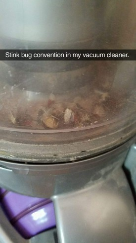 stink bugs in the vacuum