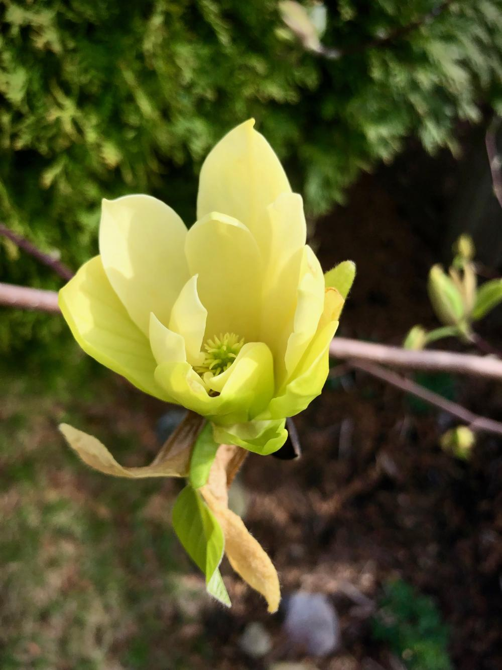 A Tuesday's magnolia flower