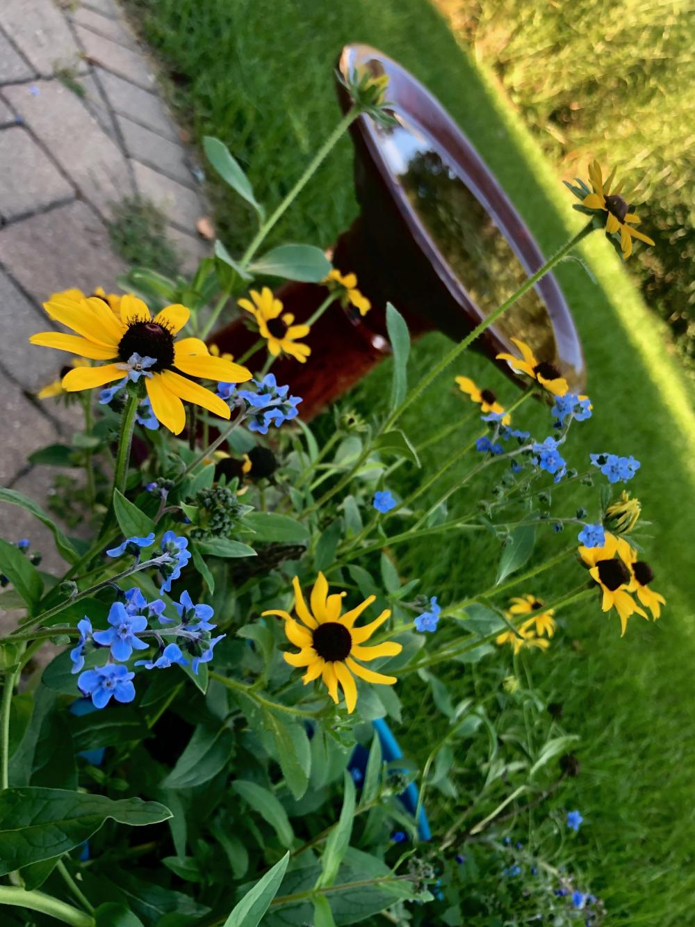 black eyed susans and forget me nots 1
